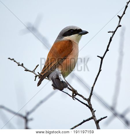 Red-backed Shrike On A Twig