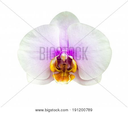 Orchids. Beautiful orchid flower arrangement with green background. Vanda orchids flowers nature. Beautiful orchid flower isolated on white background