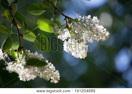 White lilac tree blooming in spring