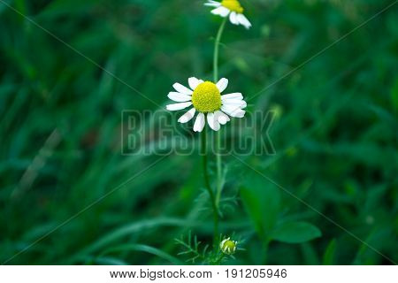 Field chamomiles on a green blurr background