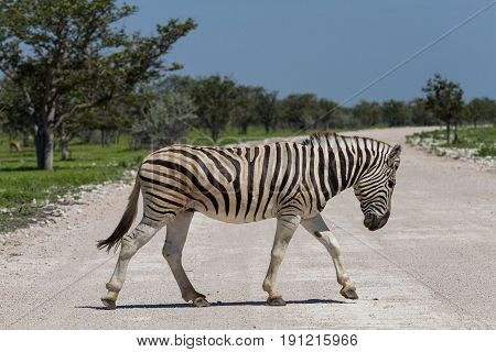 Zebra crossing a gravel road Etosha National Park Namibia Africa