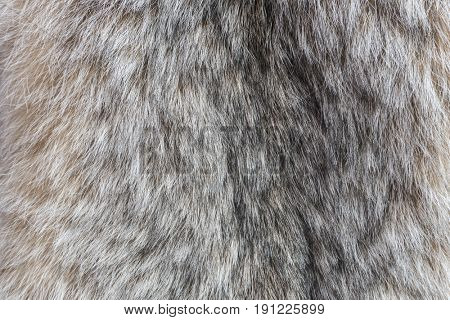 Canada Lynx fur. Fur of lynx close up texture.