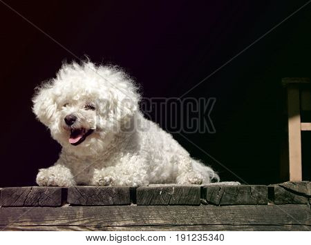 Bichon Frise resting on a porch in sunlight