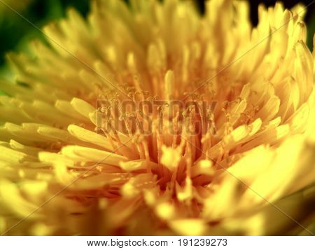 Extreme common yellow dandelion flower close up