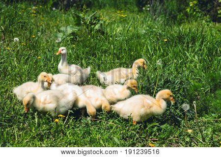 A Little Yellow Goose On A Green Lawn