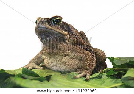 Cane Toad.