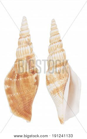 cockleshell isolated on a white background , studio shot