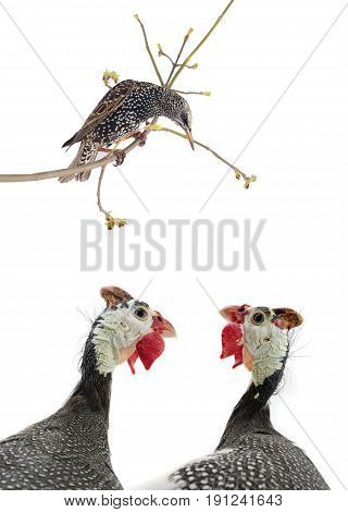 Starling And Two Portrait Guinea Fowl