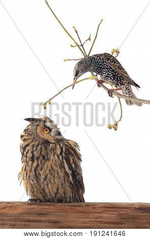 starling and owl and starling on a white background