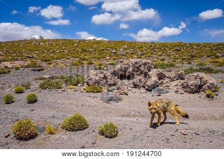 Red Fox In Altiplano Desert, Sud Lipez Reserva, Bolivia