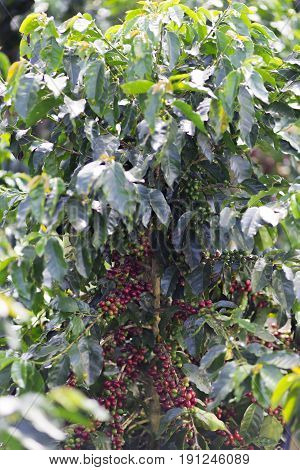 Red Coffee Beans On Branch
