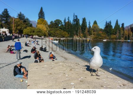 Black-billed gull in Lake Wakatipu Queenstown South Island of New Zealand