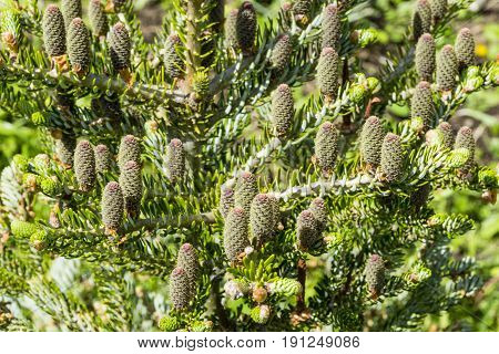 The view of pine branch with young green cones in summer sun Mountain pine
