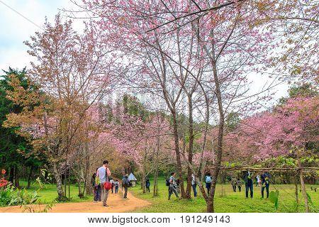 ChiangDao, Chaingmai, Thailand. - January 28, 2017 : People walking in the pink flower Sakura at Doi Luang Chiang Dao, Chaingmai, Thailand.