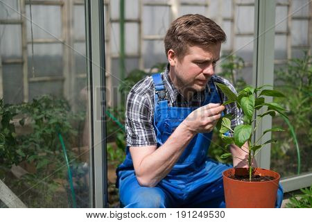 Caucasian Farmer Checking Pepper Plants In Greenhouse. Quality Control of Harvest