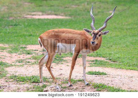 Blackbuck or deer standing and looking something.