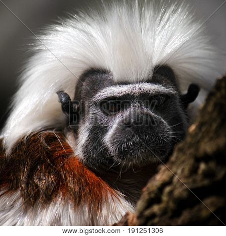Portrait of small monkey cotton-top tamarin Saguinus oedipus.