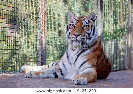 Big tiger in the Zoo. Siberian tiger (Panthera tigris altaica)