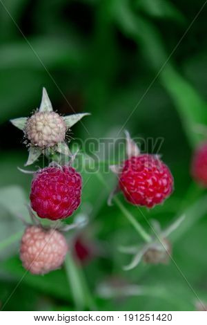 Raspberry with selective focused on the blur green background. Growing organic berries closeup