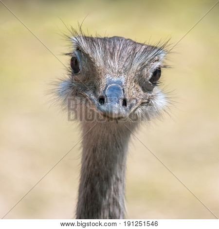 Portrait of flightless bird The greater rhea (Rhea americana).