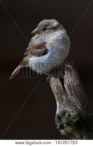 House Sparrow - Passer Domesticus Sitting On A Wooden Stump.