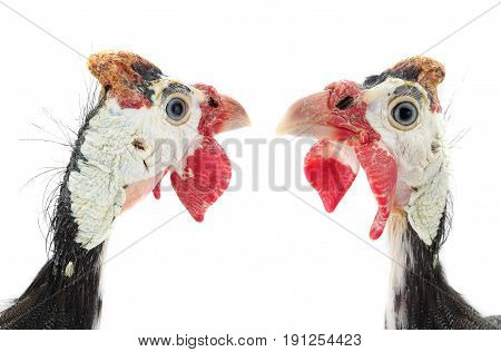 Two Portrait Guinea Fowl