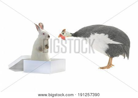 white rabbit sitting in a box and guinea fowls