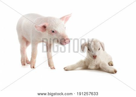 piglet and goat on a white background. studio