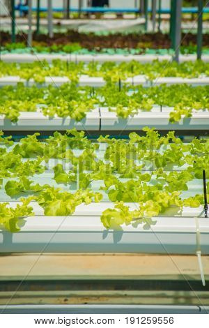 the Organic hydroponic vegetable cultivation green  farmOrganic hydroponic vegetable cultivation farm