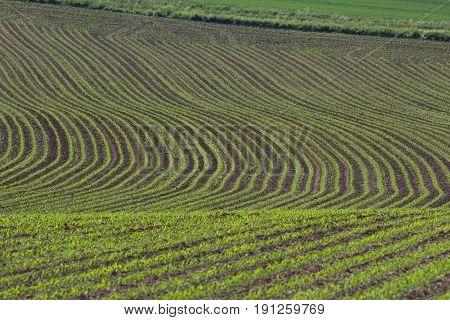a green wheat field - corn field in bavaria in spring