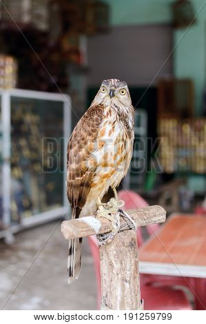 The hawk or falcon is a bird of prey in captivity
