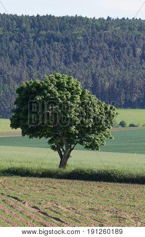 tree within a summer landscsape next to schwandorf in bavaria
