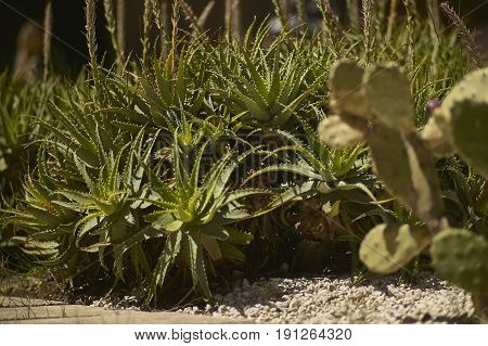 Beautiful bush of Aloe plants beautiful and very lush specimens of bright and glowing colors.