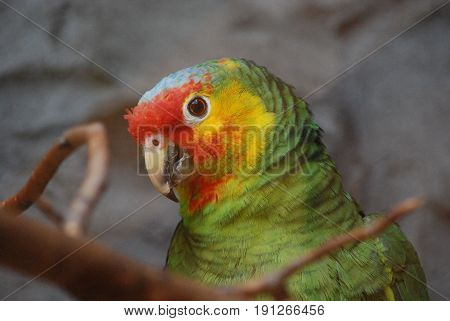 Amazon parrot with great coloring on a perch.