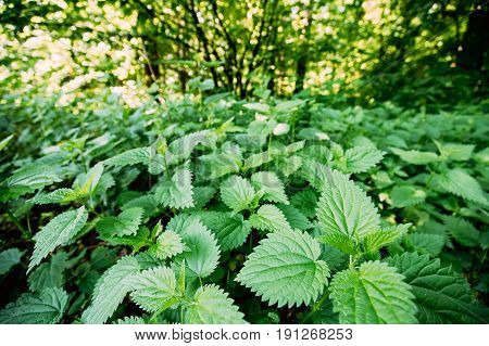 The Twigs Of Wild Plant Nettle Or Stinging Nettle Or Urtica Dioica In Summer Spring Meadow Field