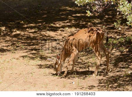 Black-tailed buck eating alfalfa pellets