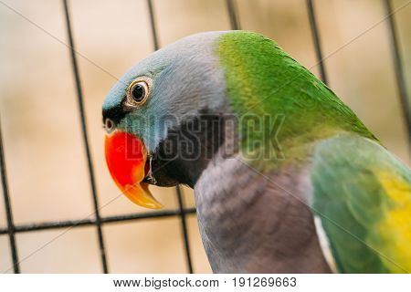 Close Up Of Lord Derby's Parakeet Or Psittacula Derbiana, Also Known As Derbyan Parakeet. Wild Bird In Cage.