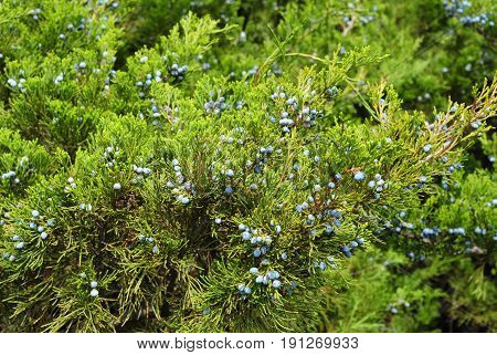 Green juniper with juniper berry. Juniperus excelsa or Greek Juniper Blue berries are used as spices and in medicine.