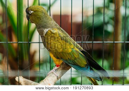 Burrowing Parrot Or Cyanoliseus Patagonus. It Is Also Known As The Patagonian Conure And Burrowing Parakeet. It Is Mainly Found In Argentina.