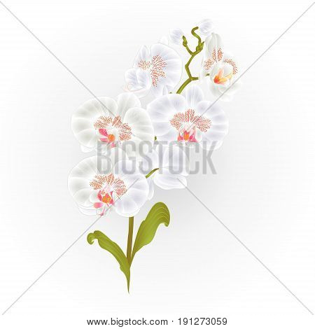 Branches orchid Phalaenopsis White flowers tropical plants green stem and buds and leaves vintage vector botanical illustration for design hand draw