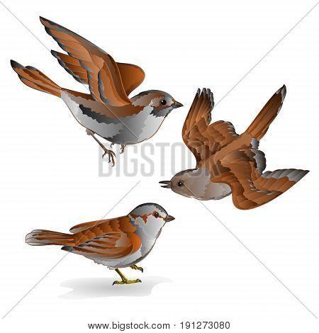 Little birds cub sparrow passer domesticus vintage set fifth vector animals illustration hand draw