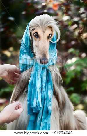 Afghan Grey Hound In A Scarf.