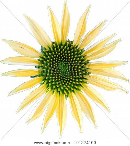Yellow coneflower - The flower of summer on white background