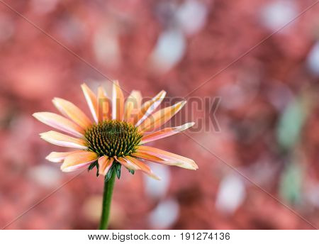 Orange-colored coneflower - The flower of the summer