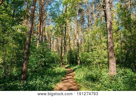 Lane, Path, Way For Light Walking In Summer Deciduous Forest Between Woods Trees. Beautiful Landscape Of Russian Forest