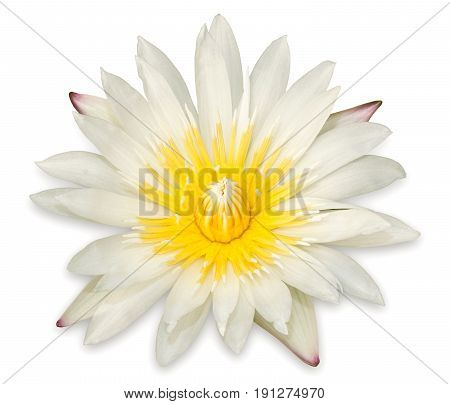 Yellow Lotus Flower Isolated On White Background