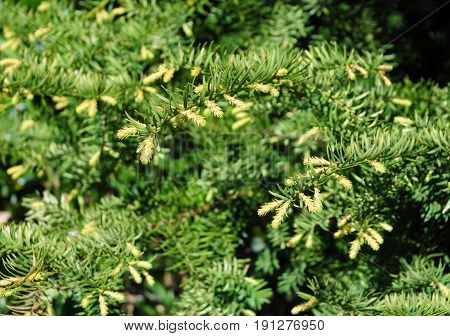 Taxus baccata in spring.  Close up on Yew tree.