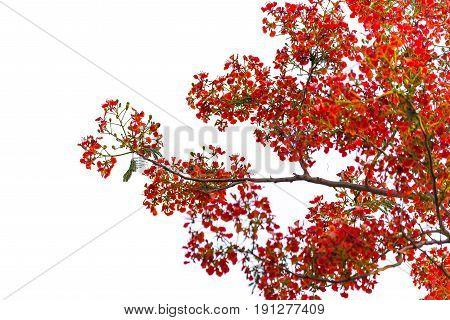 Caesalpinia Pulcherrima Flame Tree Flower, Isolated