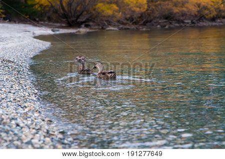 Wild duck on autumn leaves lake South Island of New Zealand