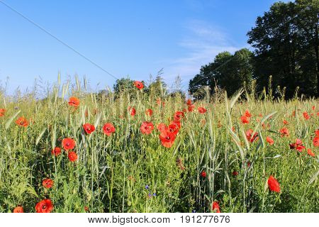 Red Flower Papaver Rhoeas With Trees And Sky